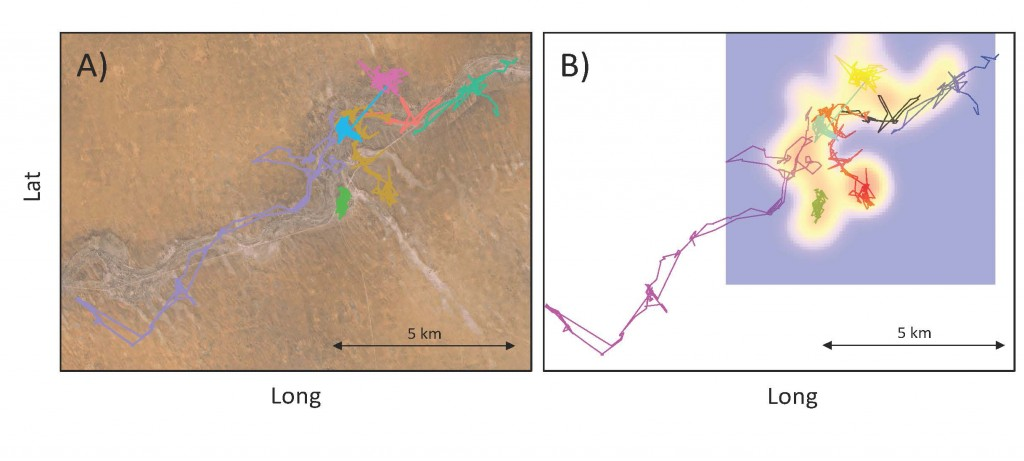 Preliminary movement data from eight dispersing coalitions fitted with GPS radio collars. Each color represents the trajectory of a different dispersing unit in (A) the environmental landscape and (B) the social context. Note the long-range dispersal event southwest of VLF152 (violet/pink)! In (B) a utilization distribution map for the main study area is created based on the location of territorial groups (warm color= high encounter likelihood, cold colors= low encounter likelihood); long range dispersal event may end in areas where the social context is unknown (white)