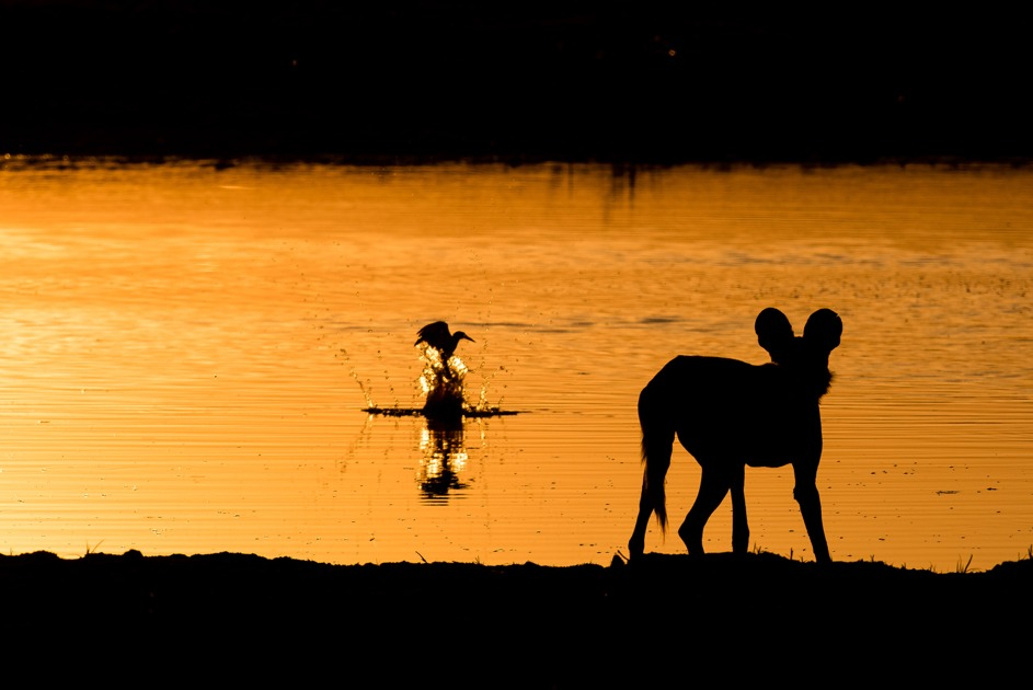 A dispersing wild dog watches the sun setting over a lagoon in the Okavango Delta, northern Botswana (Photo: Dominik Behr)